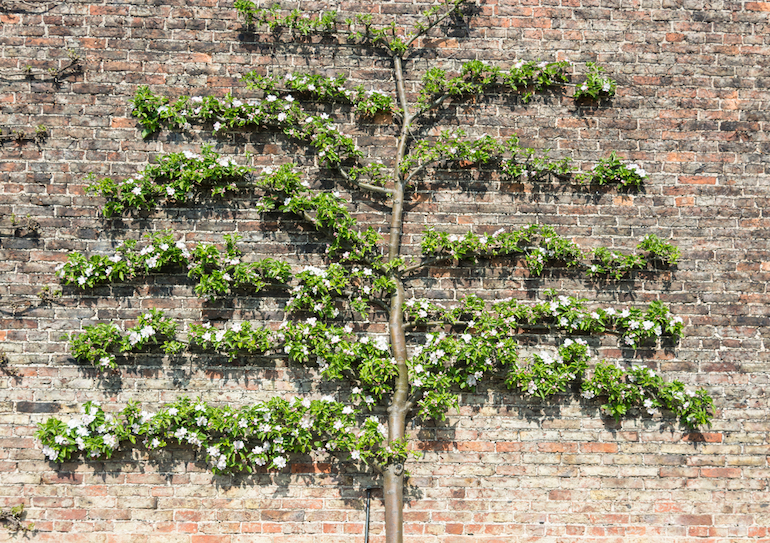 Trained apple tree against a wall
