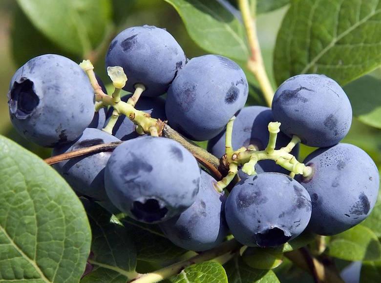How to Prune a Blueberry Bush Video   Thompson & Morgan