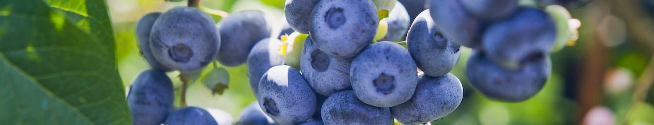Blueberry header image