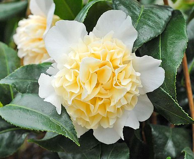 Camellia 'Brushfield's Yellow' from T&M