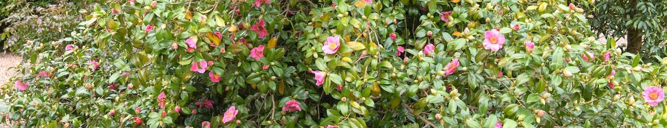flowering camellias header