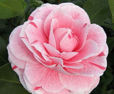 Camellia japonica 'Bonomiana' from T&M
