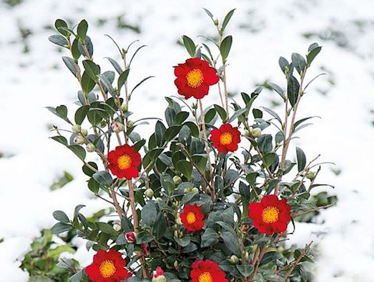 Camellia 'Yuletide' from T&M