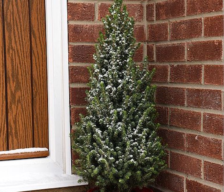 Potted Christmas Tree 'Picea Perfecta' from T&M