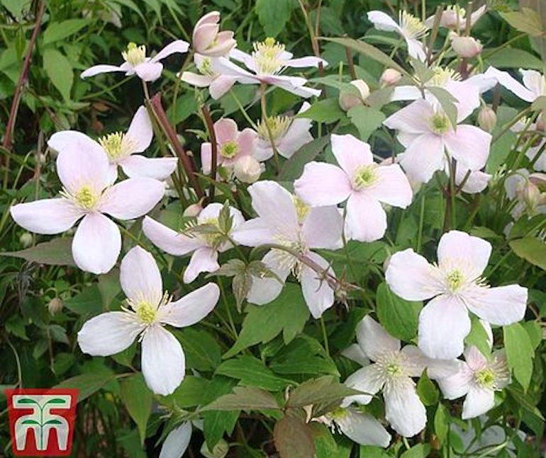 Clematis montana 'Rubens' from T&M