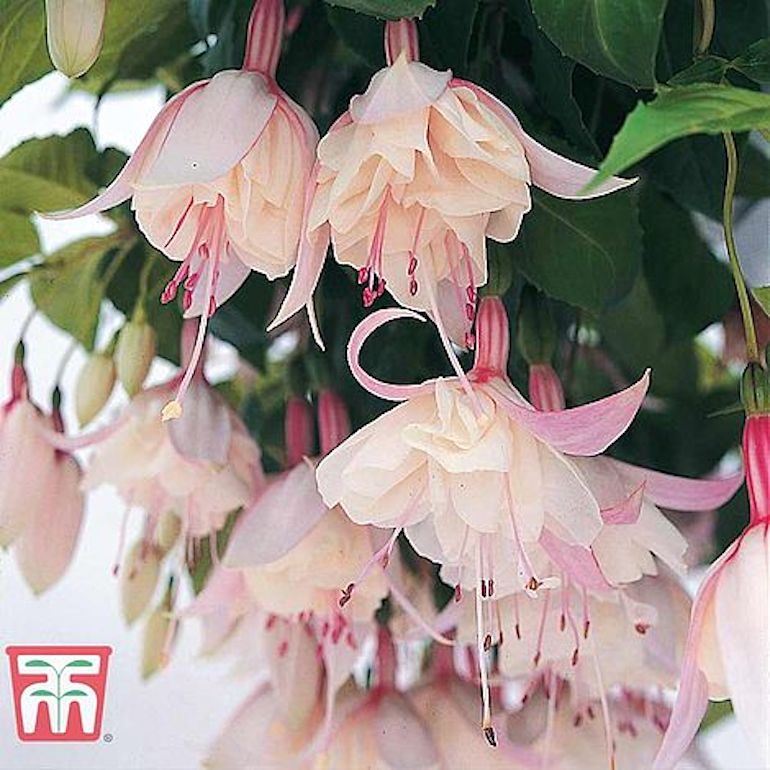 Fuchsia 'Happy Wedding Day' from T&M