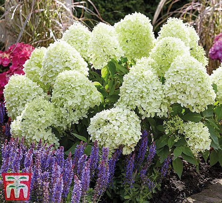 Hydrangea paniculata 'Little Spooky' from T&M