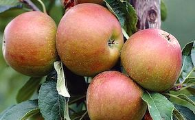 red cox apple