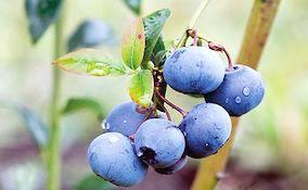 closeup of blueberry fruit