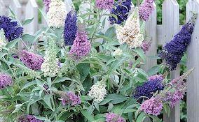 Buddleja plant in full bloom