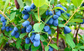 blue honeyberries surrounded by green foliage