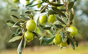 Olive tree bearing fruit