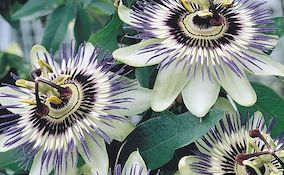 Passionflower Passiflora