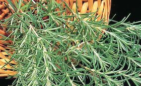 Harvested rosemary herb