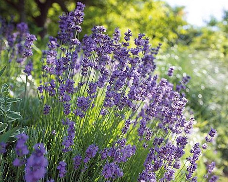 Lavender 'Hidcote' from T&M