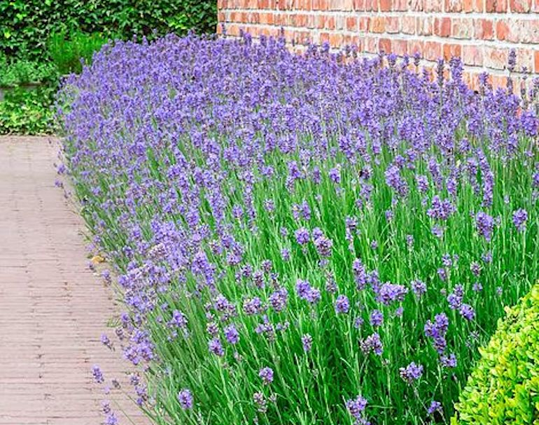 Lavender 'Munstead' from T&M