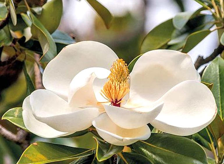 Magnolia grandiflora 'Alta' from T&M