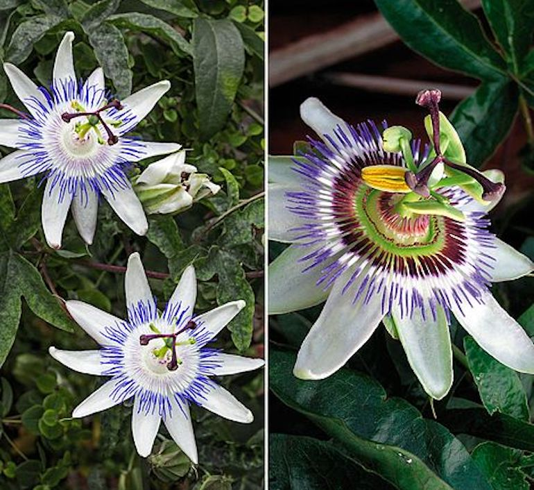 Passion flower duo from T&M