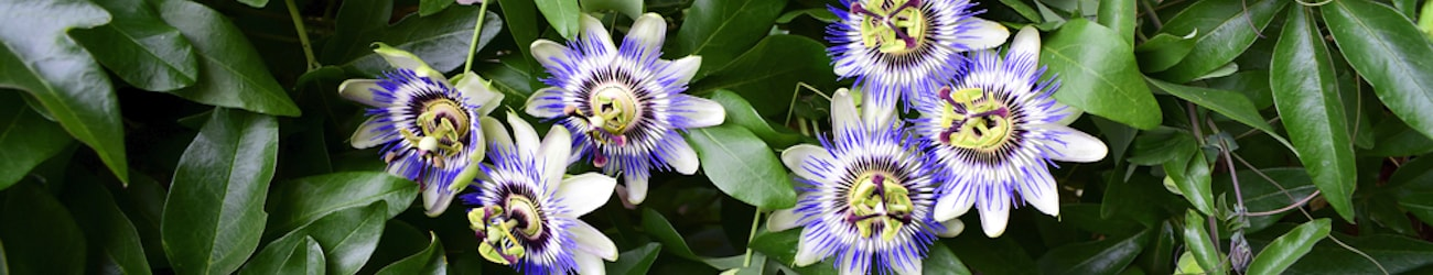 closeup of passionflowers