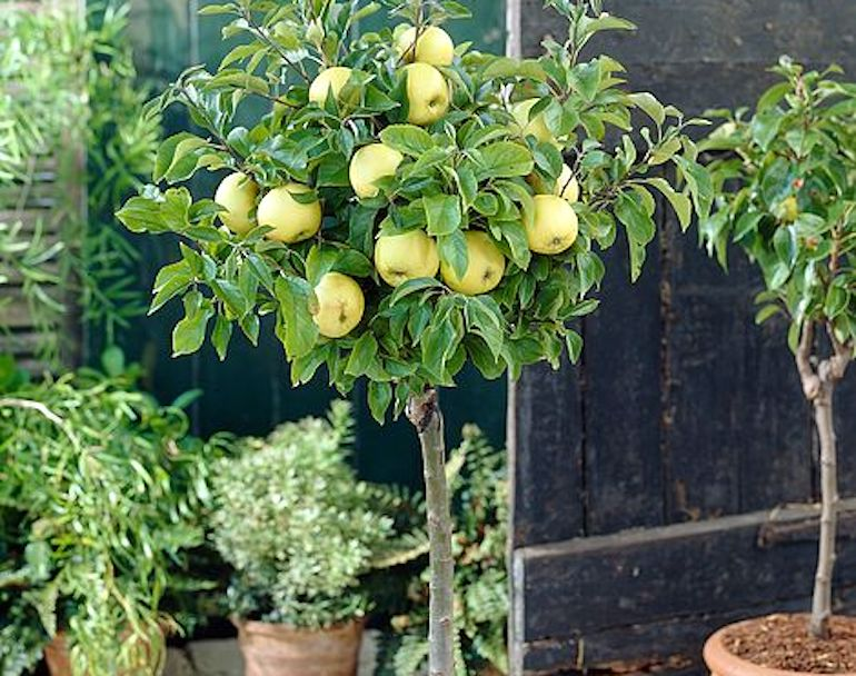 Apple 'Golden Delicious' (mini fruit tree) from T&M