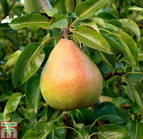 Pear 'Doyenné du Comice' from T&M