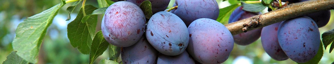 ripe plums on plum tree branch