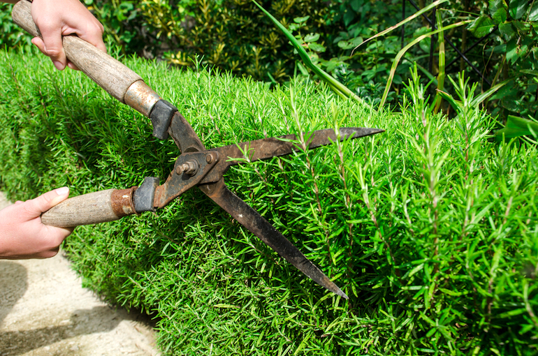 cutting back rosemary with shears