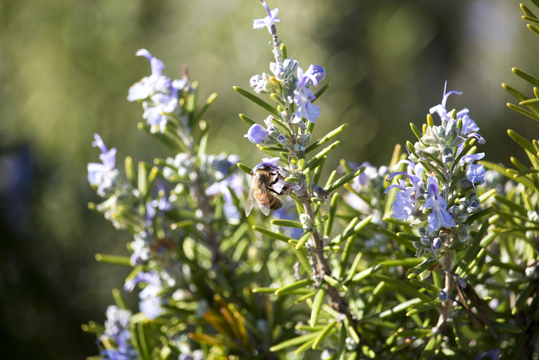 Rosemary bush covered in flowers with a bee