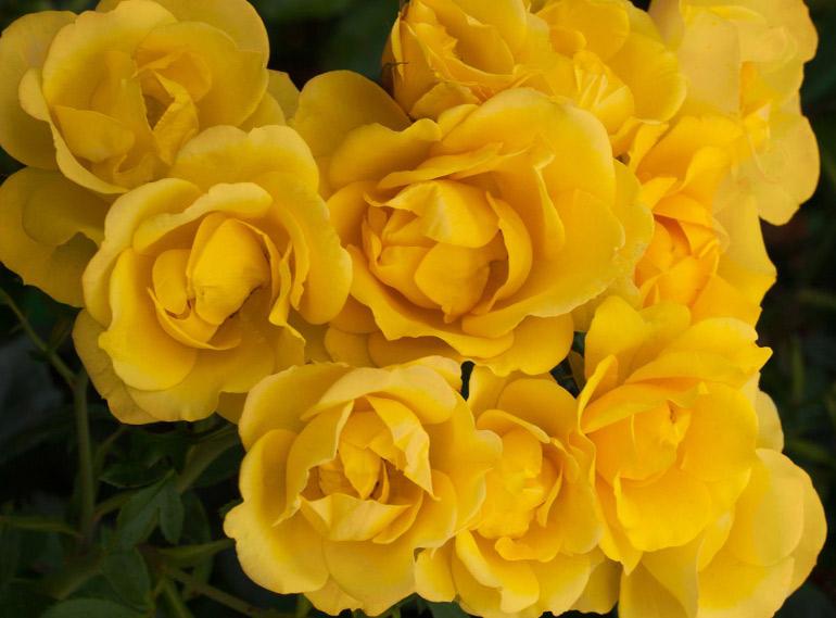 Rose 'Grandma's Rose'' from T&M