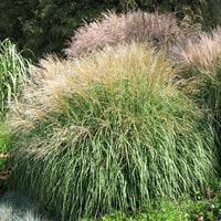 Miscanthus sinensis 'Kleine Silberspinne' Ornamental Grass