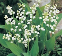 Top 10 spring flowering bulbs thompson morgan lily of the valley mightylinksfo