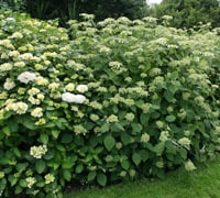 move deciduous shrubs