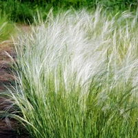 Stipa Ornamental Grass