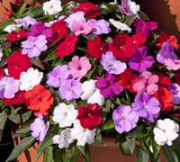 Top 10 Summer Bedding Plants Thompson