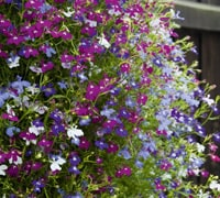 Top 10 Summer Bedding Plants Thompson Morgan