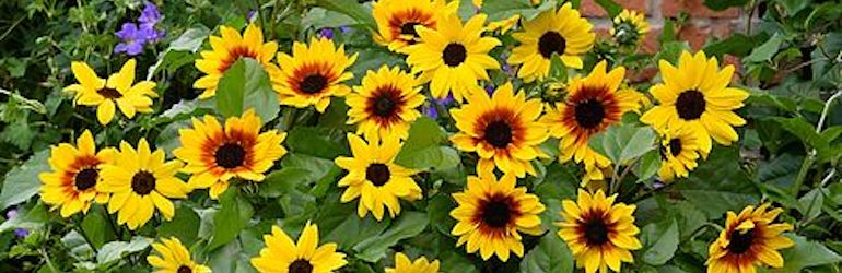 Sunflower SunBelievable™ Duo from Thompson & Morgan