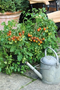Bush tomatoes are great in patio containers