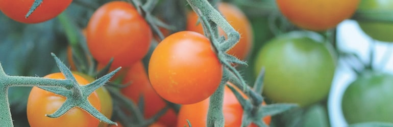Tomato 'Sungold' from T&M