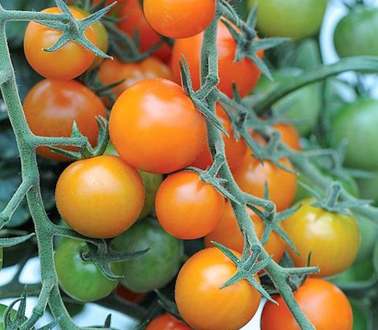 Tomato 'Sungold' from Thompson & Morgan