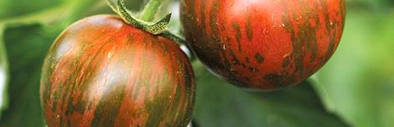 Tomato 'Tiger Red' F1 from Thompson & Morgan
