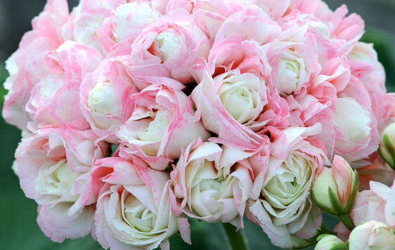 Geranium 'Appleblossom Rosebud' from T&M