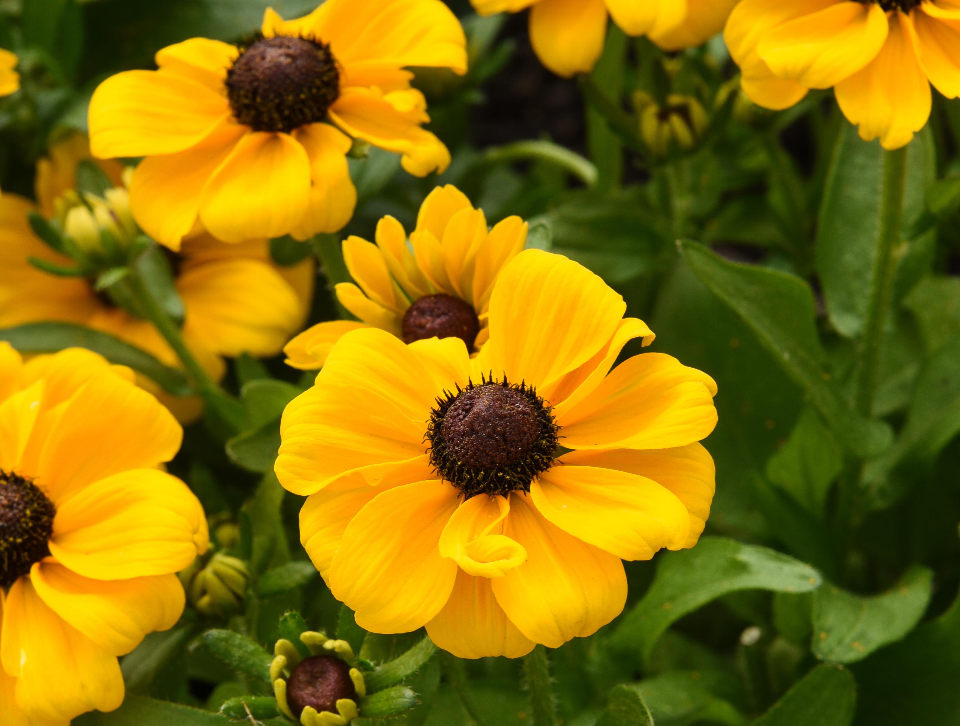 Rudbeckia hirta 'Toto' from T&M