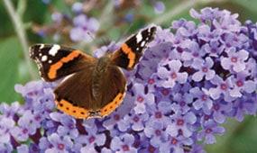 Top 10 plants for butterflies