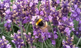 Top 10 plants for bees