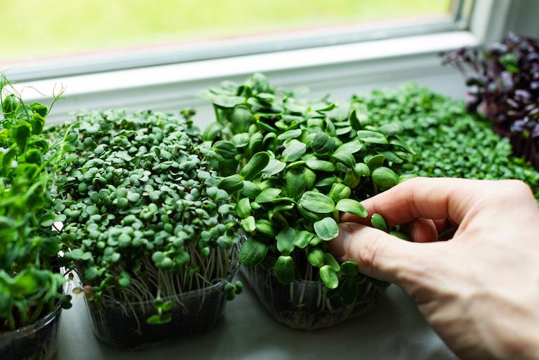 Microgreens including watercress on windowsill