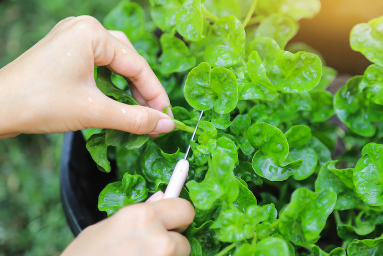 Watercress getting harvested