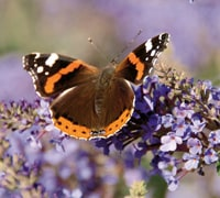 wildlife tasks july - butterfly