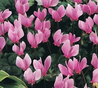 10 Cyclamen Coum A True Winter Flowering Plant