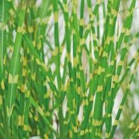 Miscanthus sinensis 'Zebrinus' Ornamental Grass