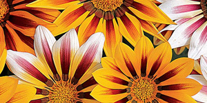 Gazania tiger striped